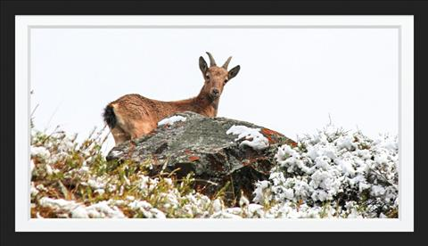 mountain snow deer