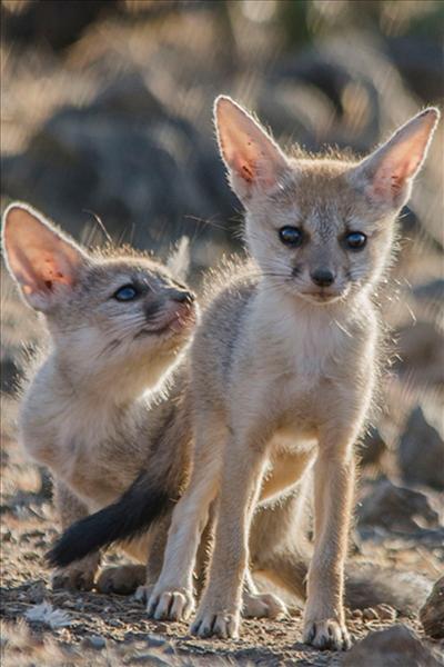 indian fox