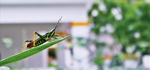angry grasshopper