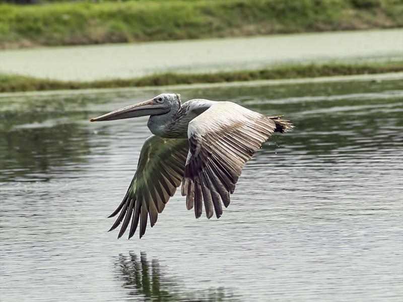Grey Pelican's Flight