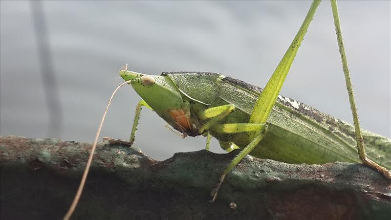 greeny grasshopper