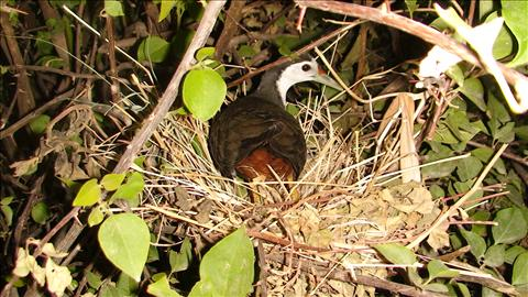 IN THE NEST ON THE EGGS