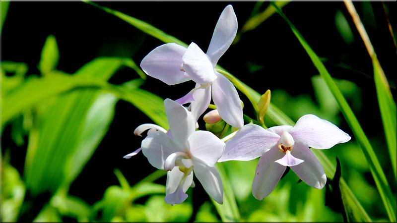 Flower  Orchid white