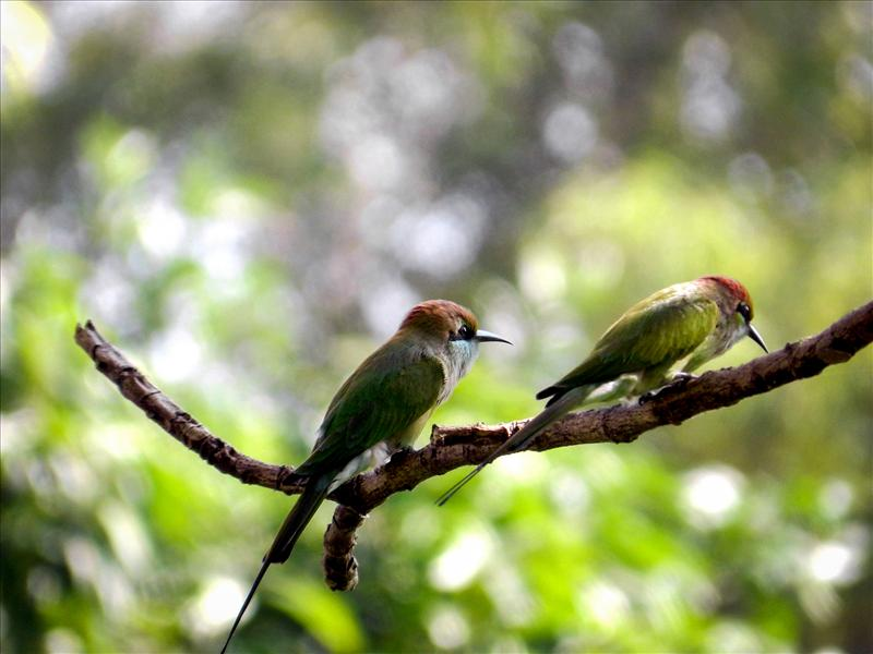 Bee Eater Couple