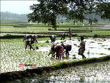 The cultivation of paddy
