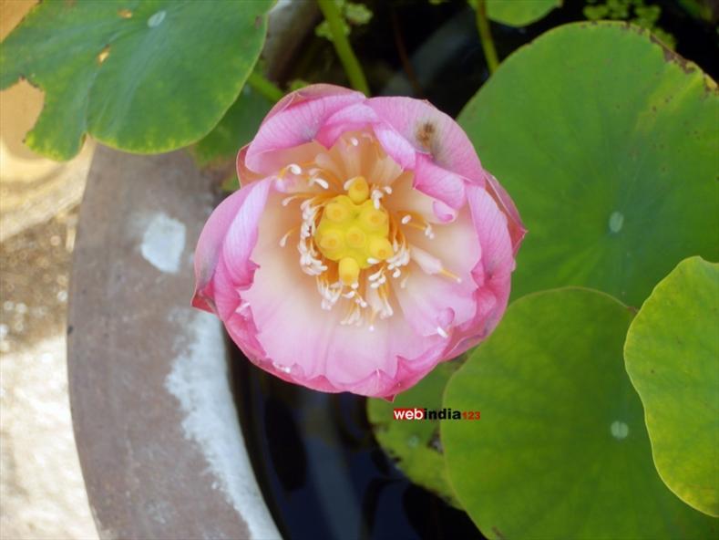 Lotus - Chinese Garden at Montreal's Botanical Garden