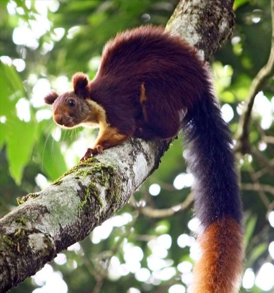 THE GIANT SQUIRREL