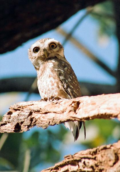 THE SPOTTED OWLET