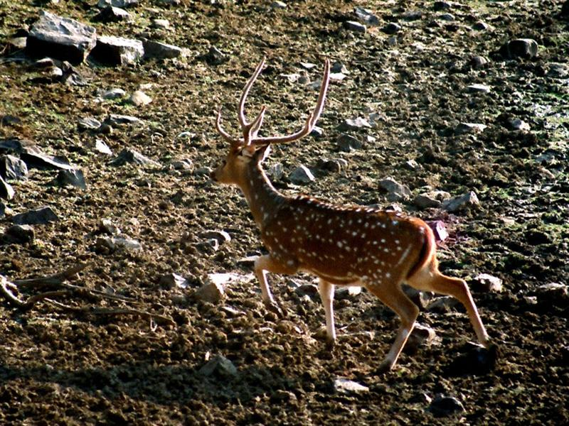 A SPOTTED DEER (M) ON THE RUN