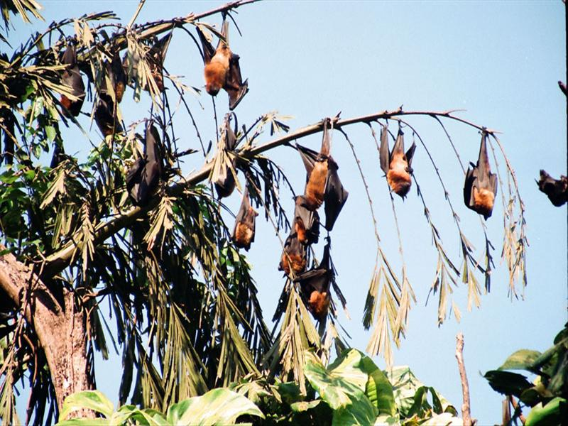 A COLONY OF BIG BATS