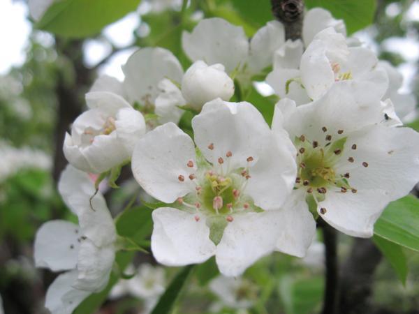 pears flowers