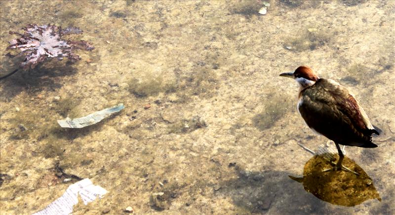 BRONZE WINGED JACANA STAND OVER OWN SHADOW
