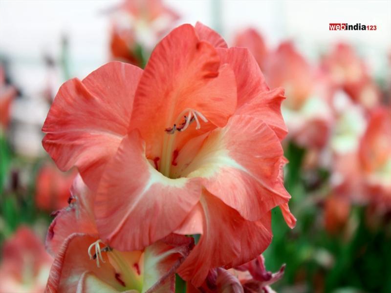 Peach Gladiolus