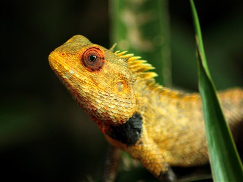 Graden Lizard