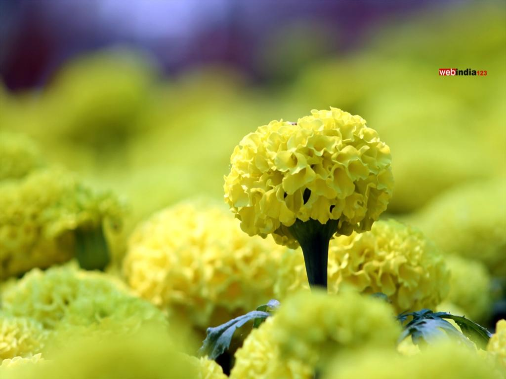 Marigold at Cochin Flower Show 2015