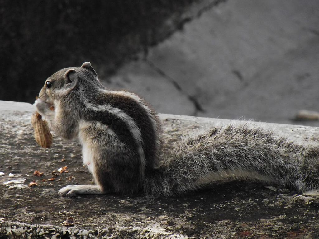 Indian Squirrel Eat Nuts