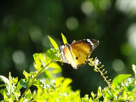 Butterfly Flying