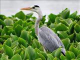 A+grey+Heron