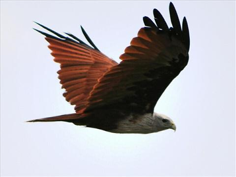magnificent kite