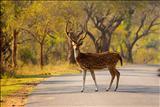 Spotted+deer