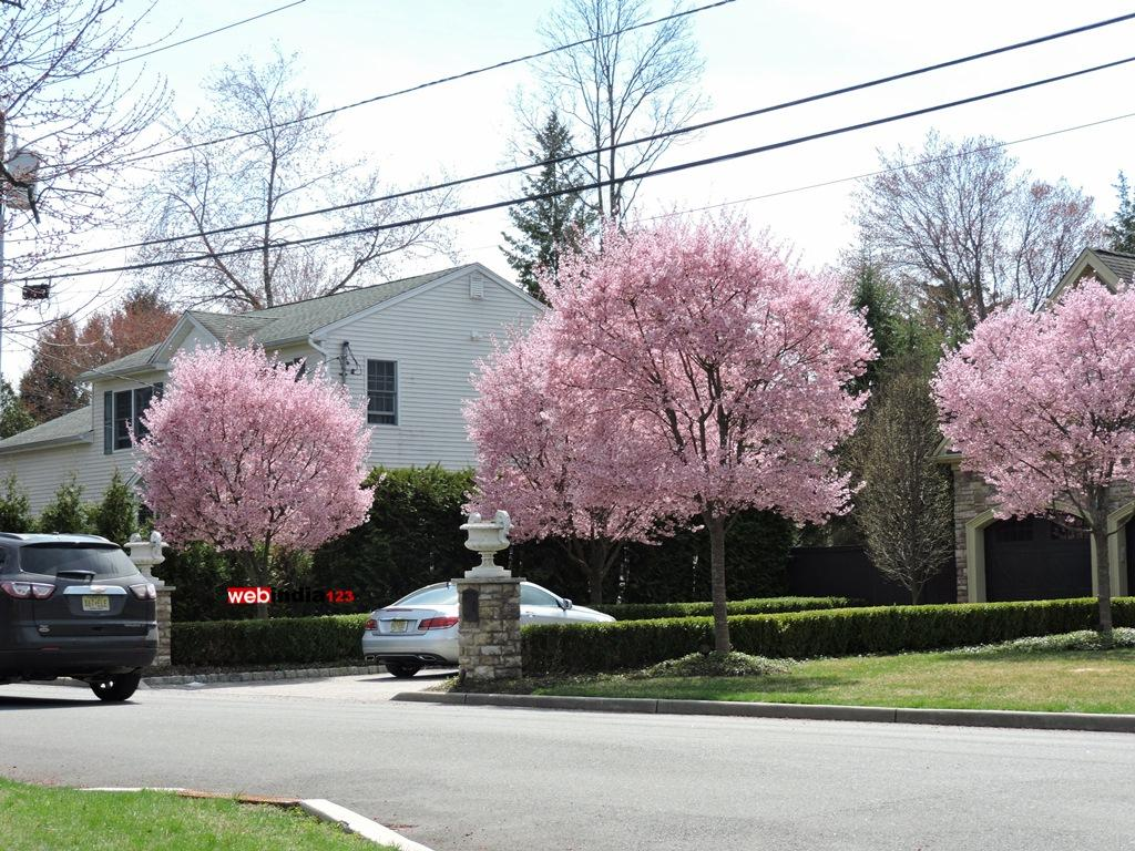 Blooming Saucer Magnolia trees