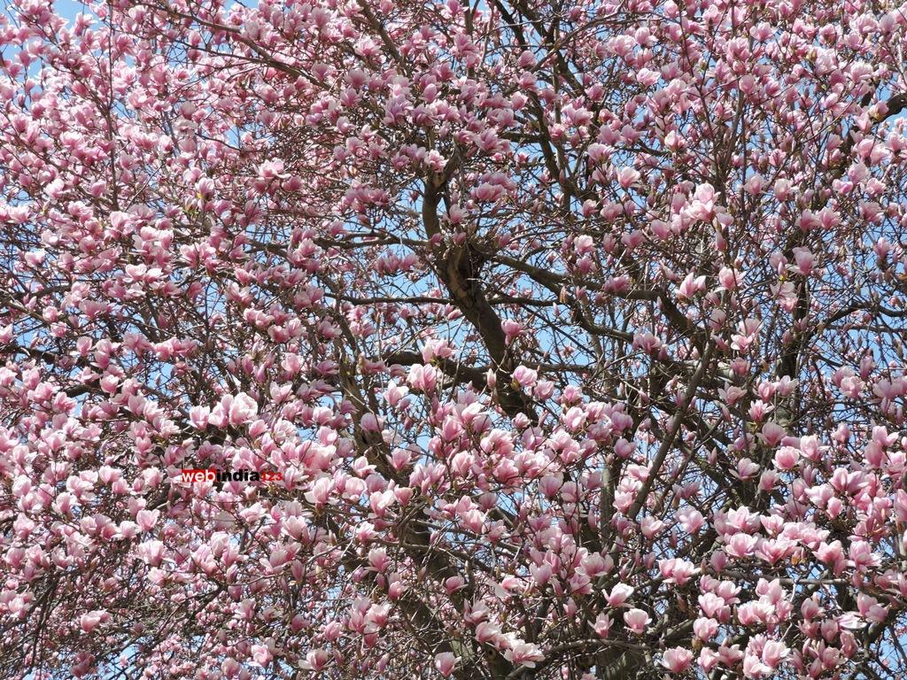 Saucer Magnolia in full bloom