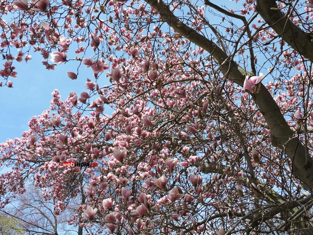 Magnolia Soulangeana Amabilis (Saucer Magnolia) Tree in Bloom