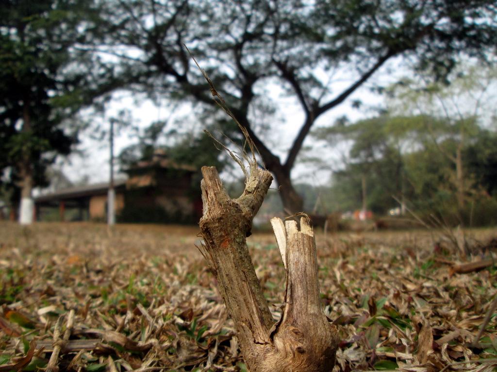 Dried branch