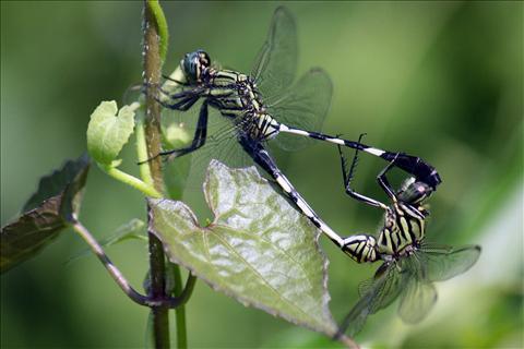 sexual grasshopper