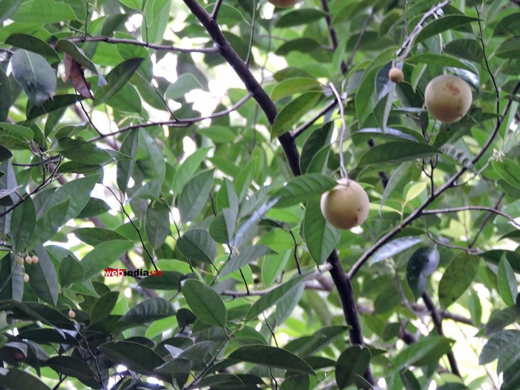 Nutmeg at Tropical spice plantation, Goa