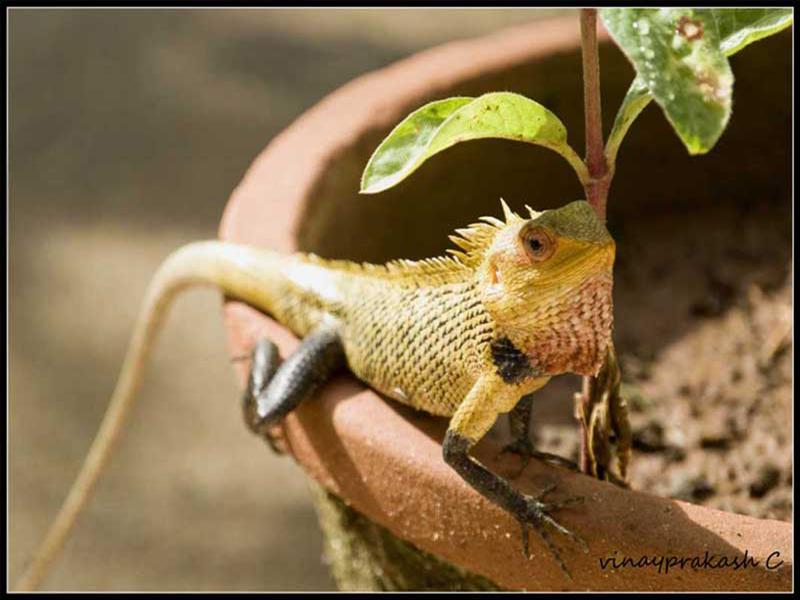 Garden Lizard Male