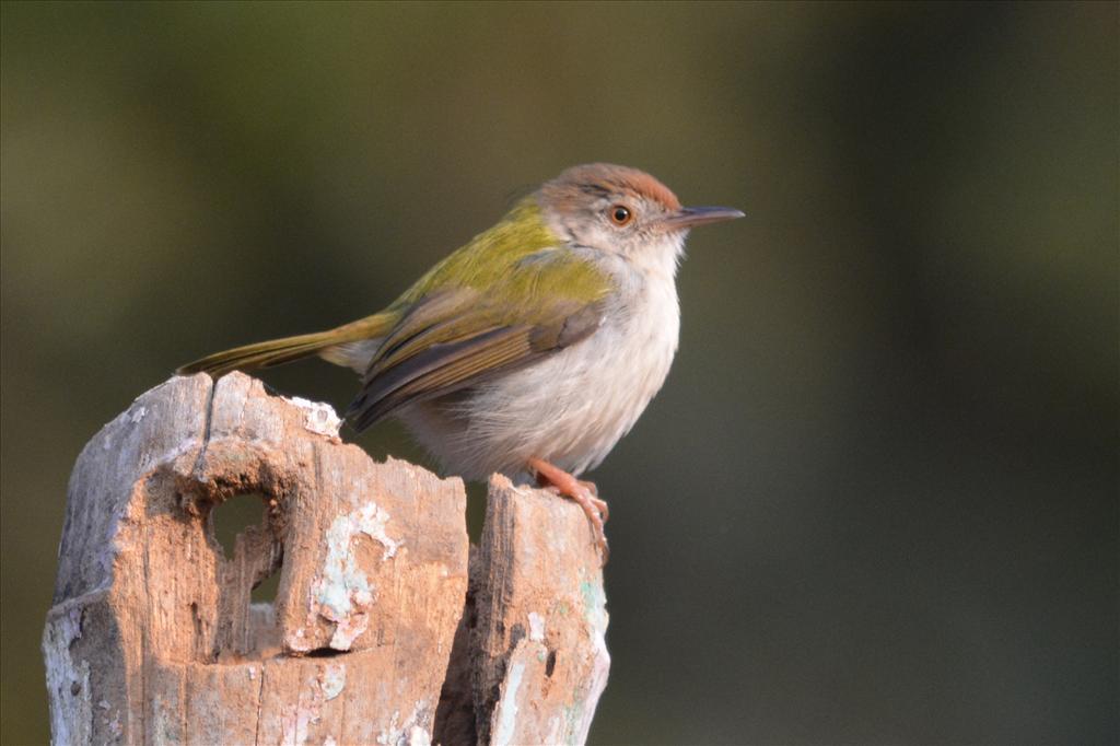 Common tailor bird.