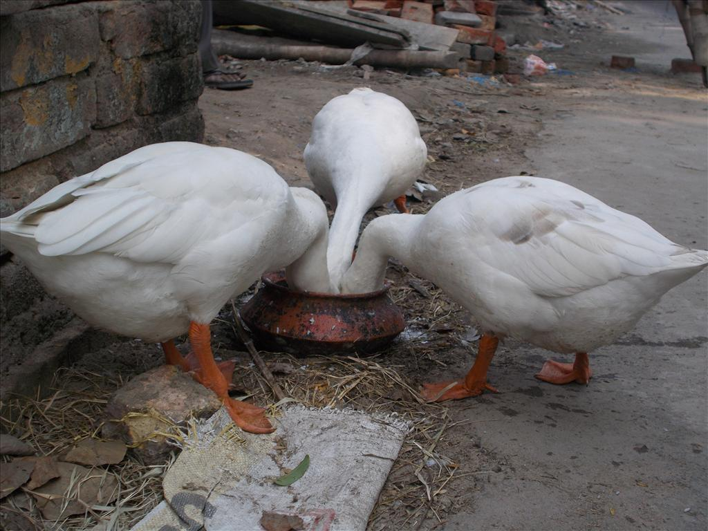thursty swans