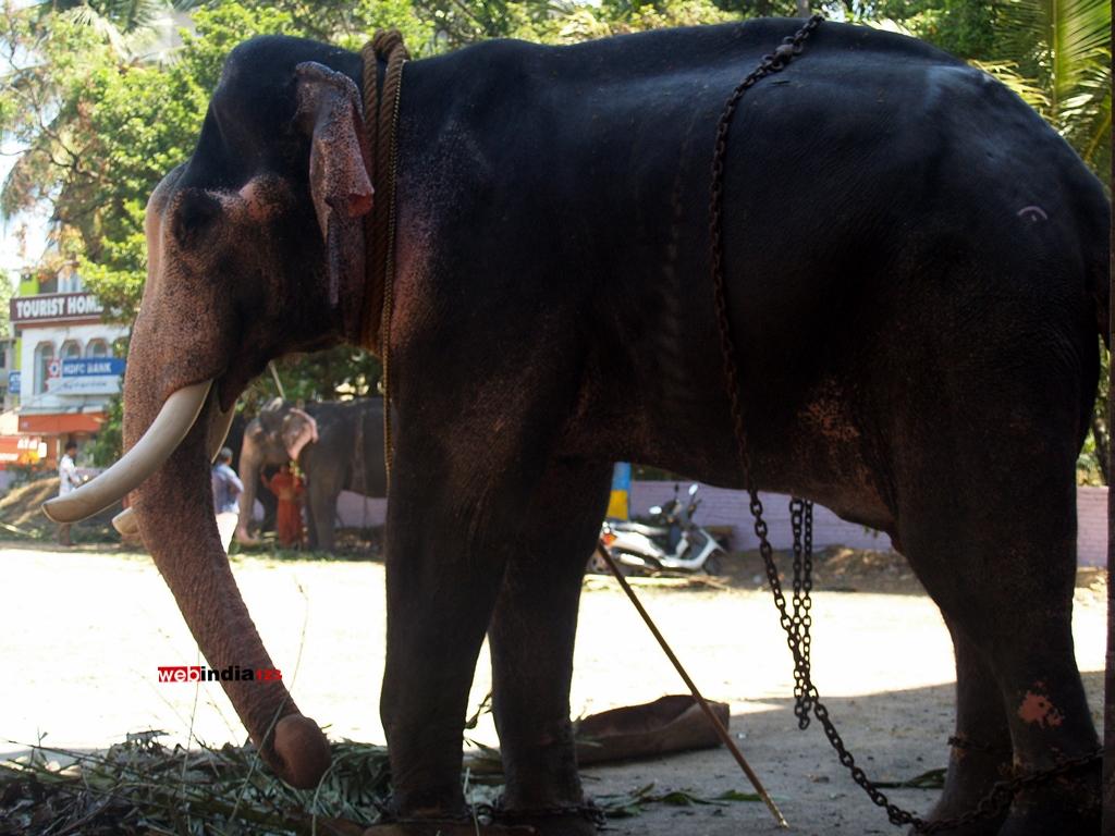 Elephant at Guruvayoor Temple premises.