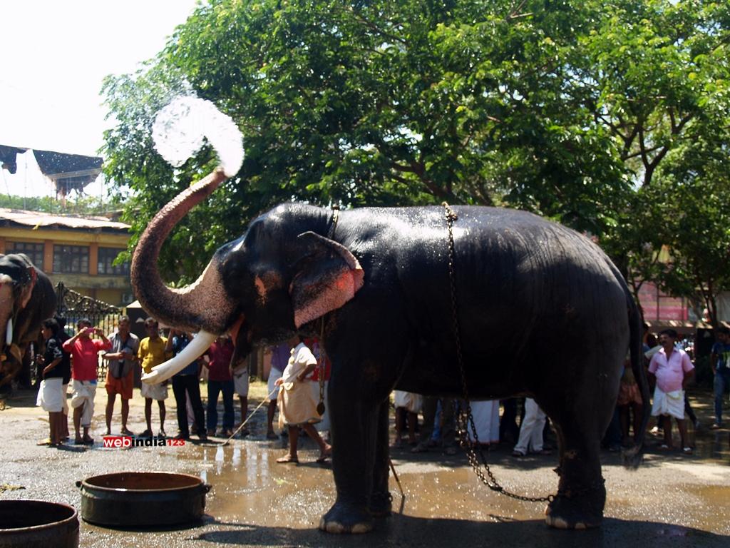 Elephant bathing at Guruvayoor Temple premises