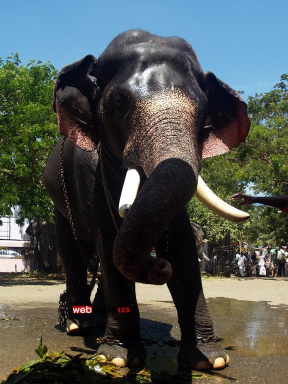 Elephants at Guruvayoor Temple premises