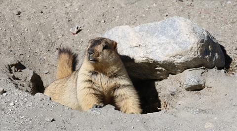 Ladhakhi Marmot