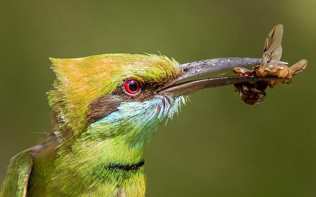Green bee eater with prey