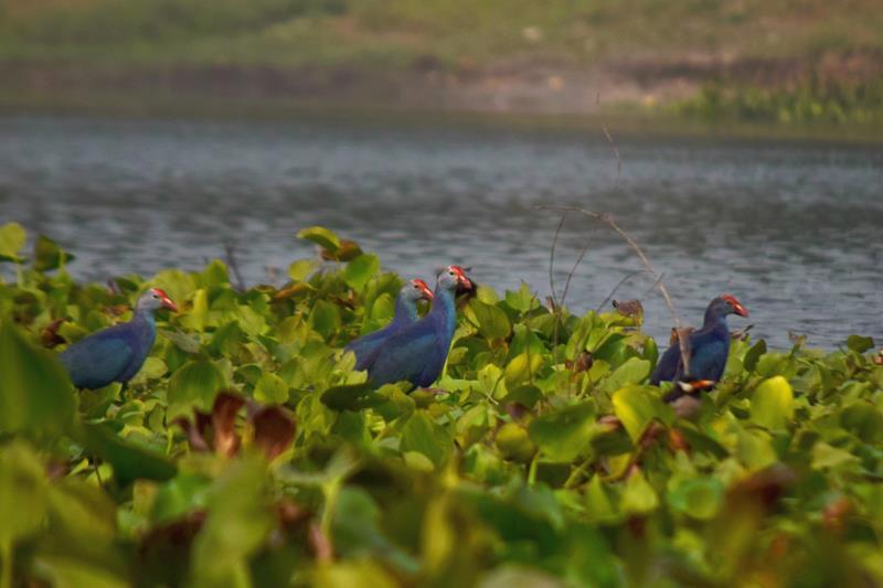 migratory birds