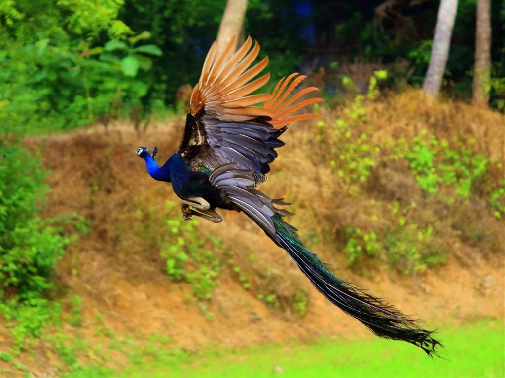 Flying Peacock...