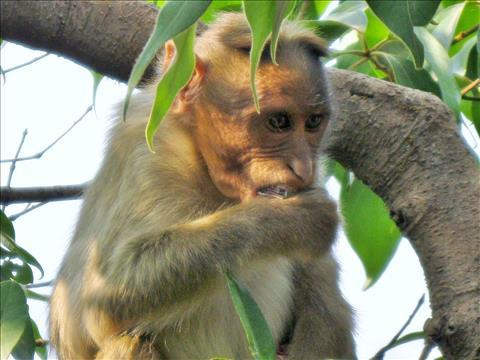 Monkey Eating Falero