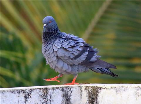 Rock Dove - Walking Slowly...