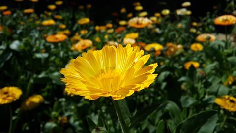 Yellow+Flower