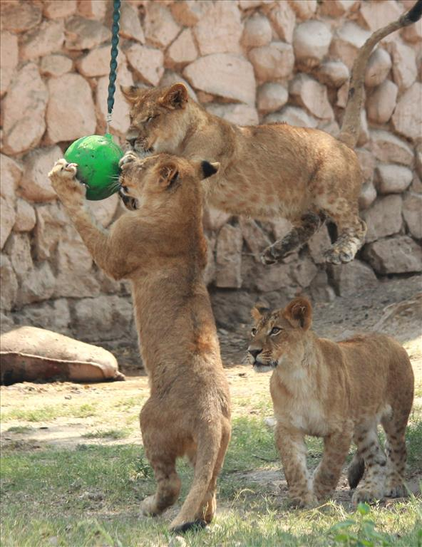 Cubs of lioness were in playful mood