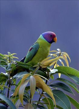 Plum+headed+parakeet