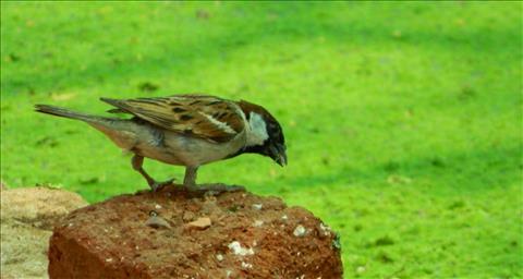 Indian+Sparrow