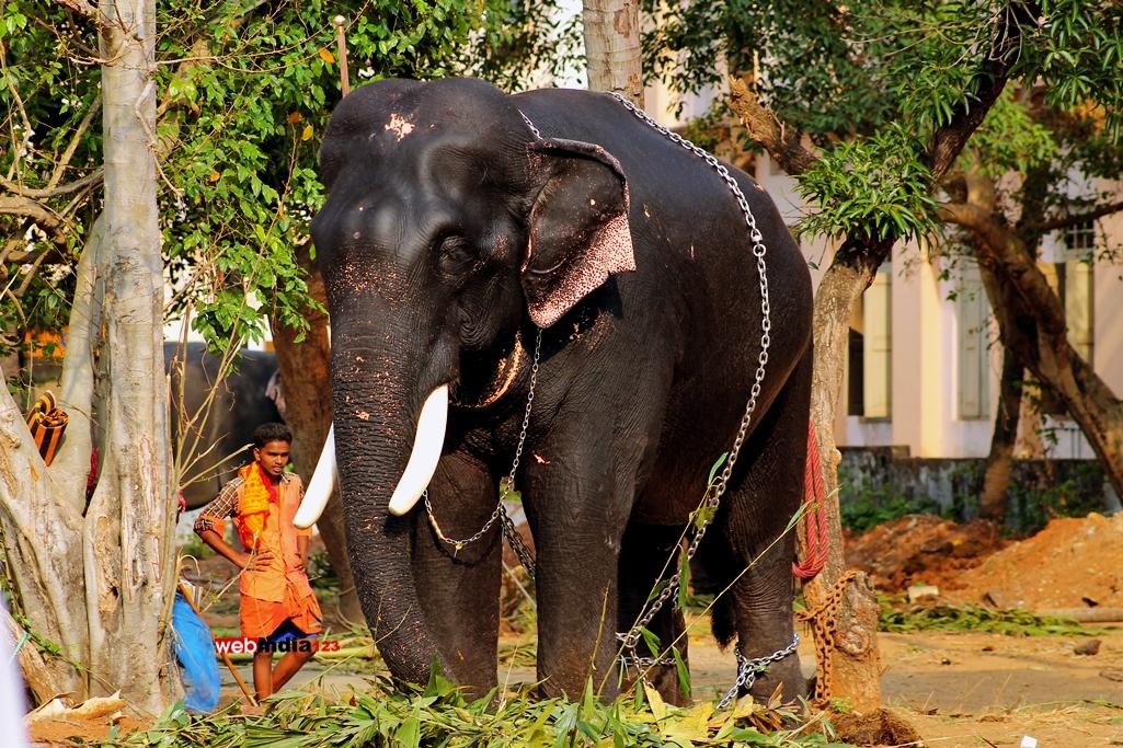 Elephants - Thrissur Pooram 2016