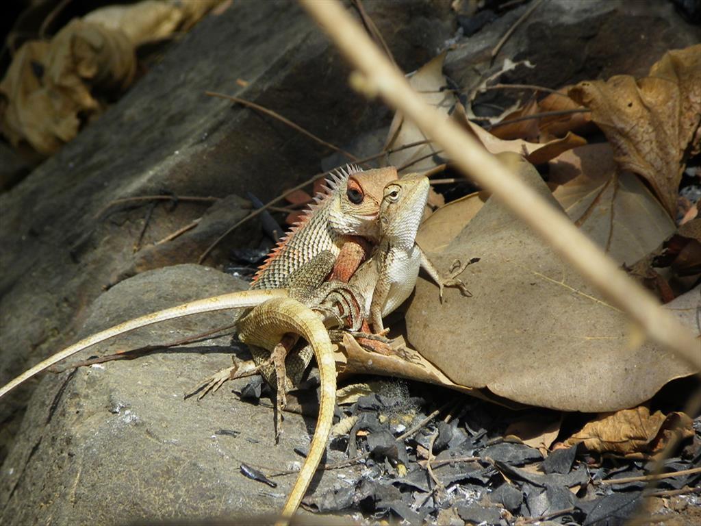 oriental garden lizard mating - Garden Lizard