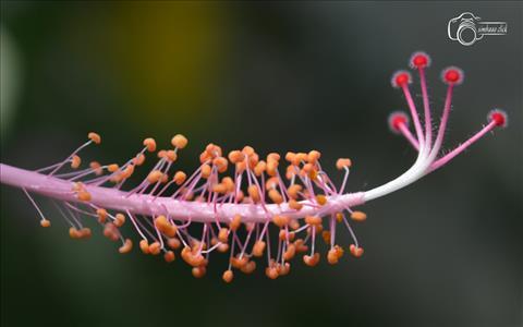 Hibiscus Flower Stamens