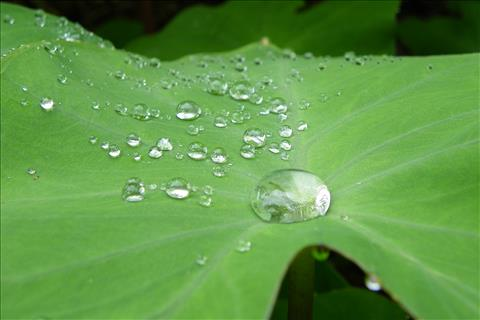 Dews on Colocasia or Tarul leaf
